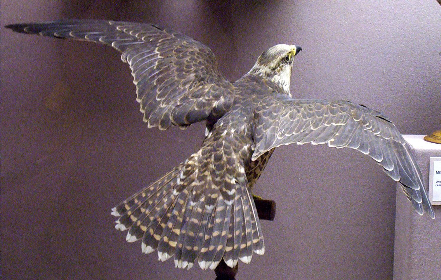 Falcon by lasrinastock