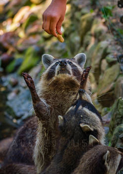 Racoon loves the Peanut