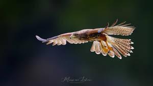 Harris's hawk by mlodini