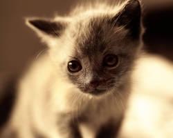 Chihuahua by kyttikatphotography
