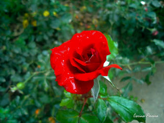 Red Rose by Dark-Rose-Memories