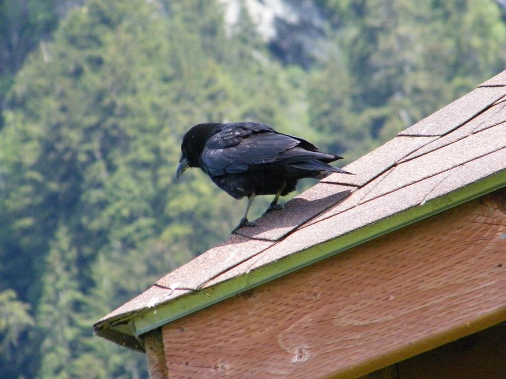 Alaskan Raven by LittleBitOfAlaska