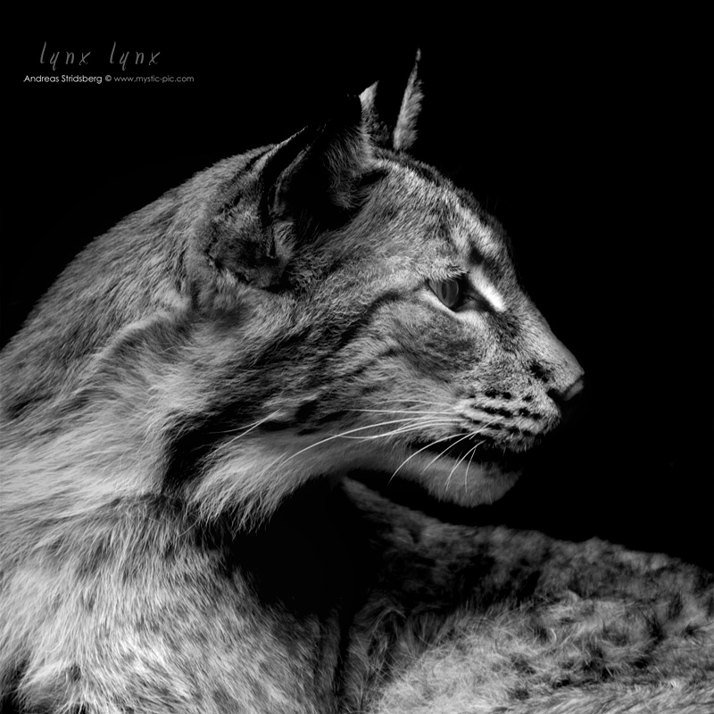 lynx lynx by Stridsberg