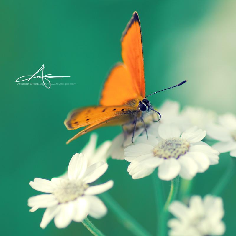 Orange Butty by Stridsberg