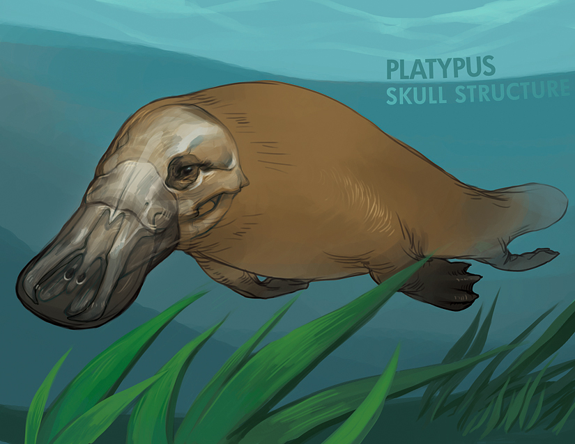 platypus by anticline-art