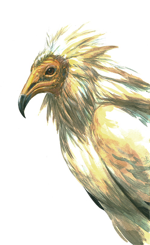 egyptian vulture drawing - photo #2