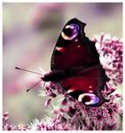 Butterfly Caught II