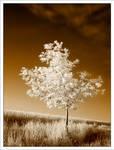small oak tree -ir-