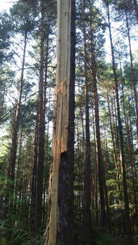 Tree destroyed by lightning