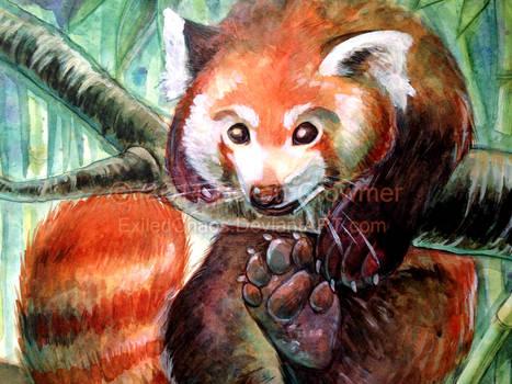 Palling Around- Red Panda closeup