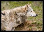 Wolf by Alex999