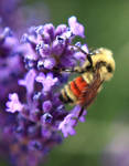 Bee on Lilac by 8inHowitzer
