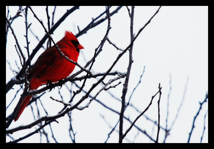 The Cardinal by xxSpotaneous-Poetry