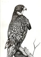 Pen and Ink Bird by Aethelgar