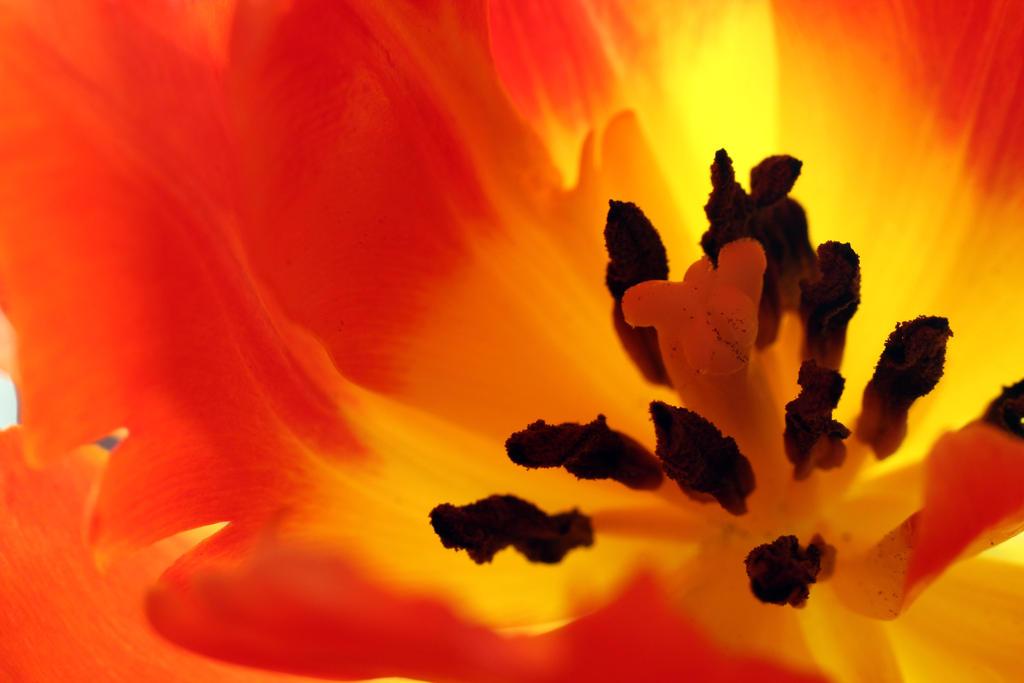 tulip by nilsxys