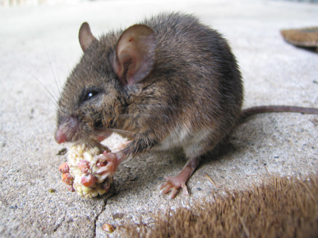 Hungry Mouse by polkadotkat