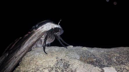 Lepidottero Testa di Morto by Camigirl99