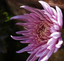 Flowers?? by pramit-dabadi