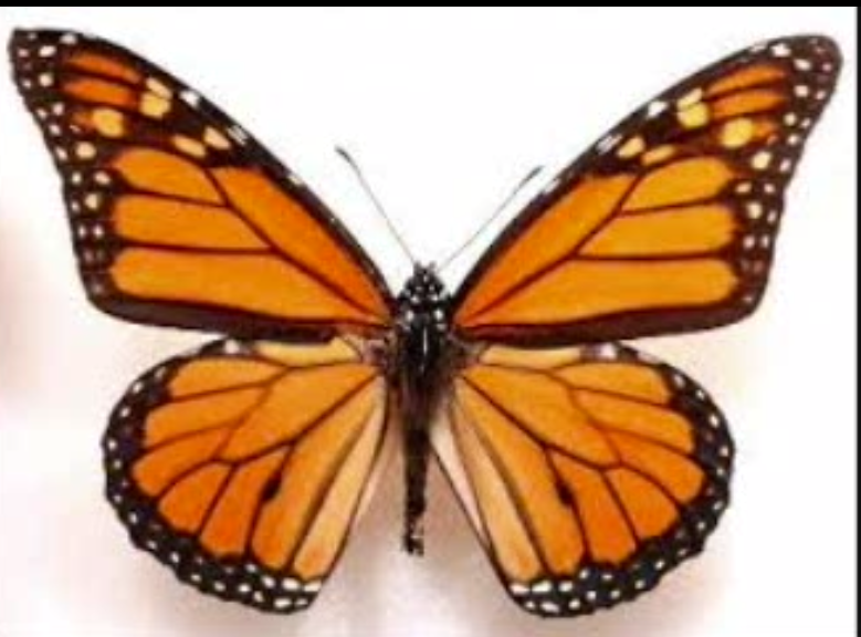 Realistic butterfly paintings - photo#1