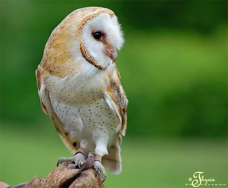 Tyto alba by PhotosThyria