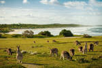 Australia - Kangaroos and Beach
