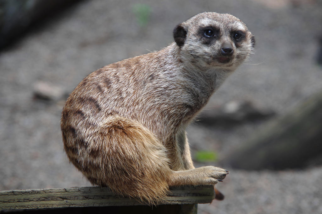 Zoo Knoxville - Meerkat by scottyboy-72