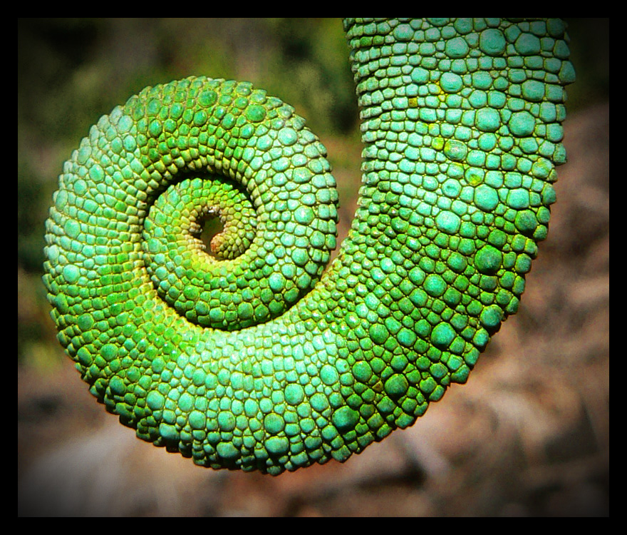 Chameleon Tail By Myowncontradiction On DeviantArt