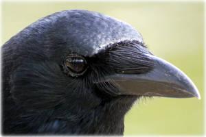 Crow (6) by Hubert11