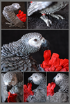 Basil The african grey
