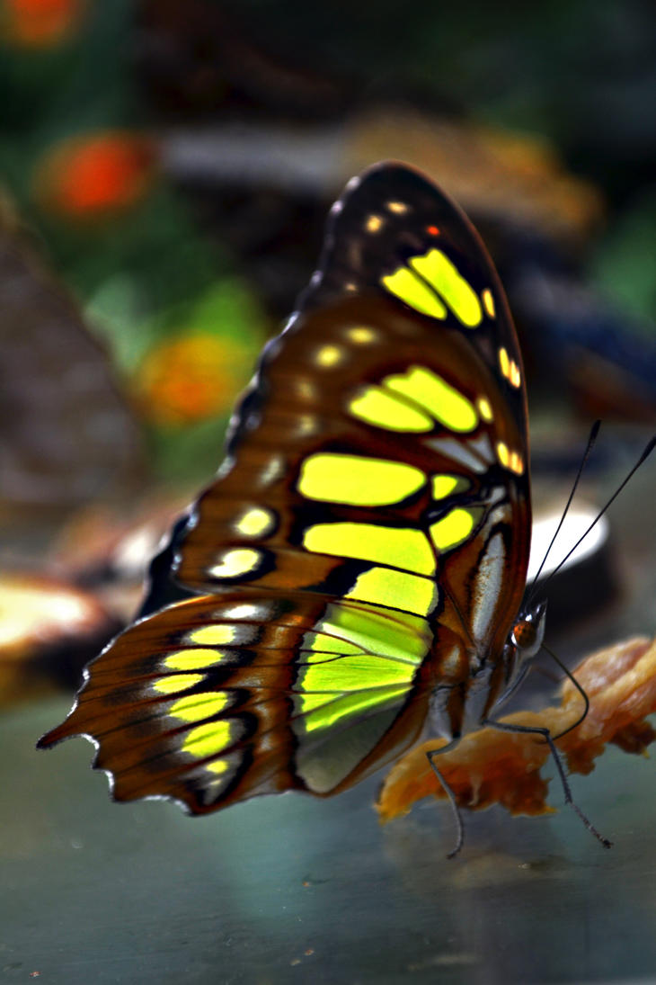 Exotic Butterfly XIII by manu1993