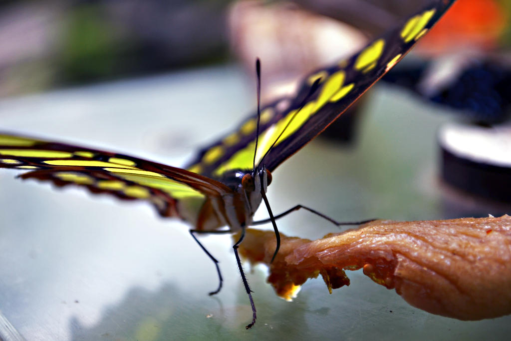 Exotic Butterfly XV by manu1993