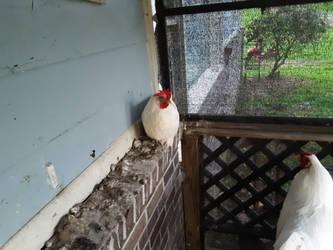 chicken  by jjdepatie