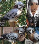 American Kestrel: Sparrow