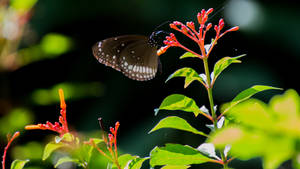 The common crow (Euploea core) butterfly..