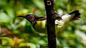 Purple-rumped sunbird (male)..