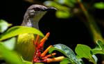 Purple-rumped Sunbird (female)..