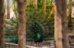 Peacock behind bars..