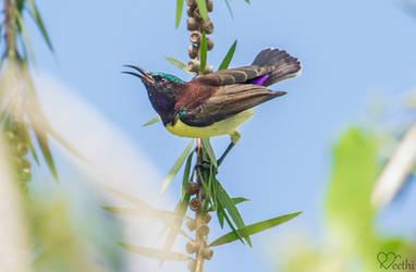 Purple-rumped sunbird (Male).. by preethi524