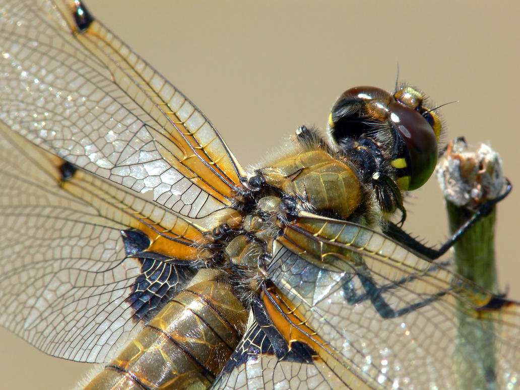 Dragonfly Macro 4 by