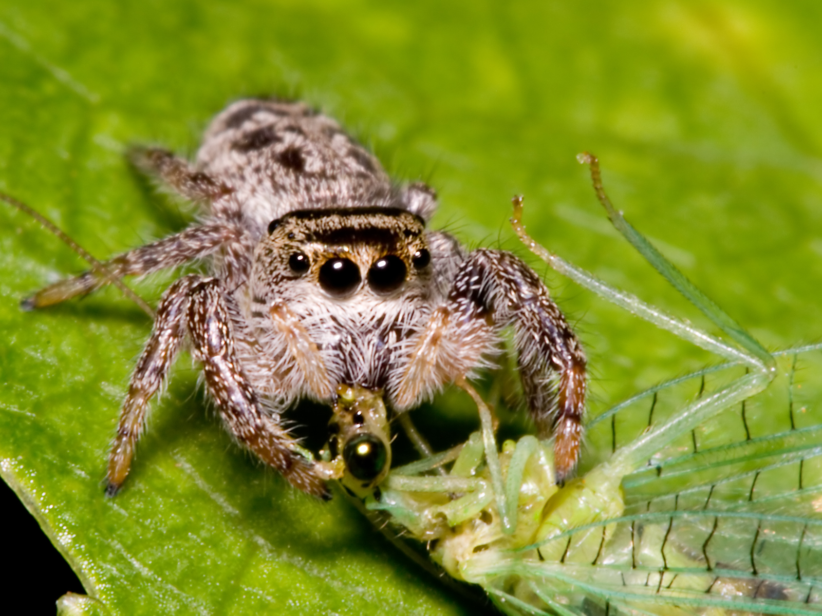 how to draw a jumping spider
