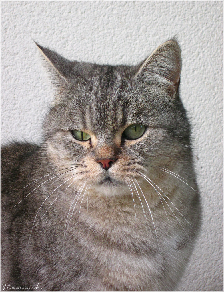 Cat portrait by Siammh