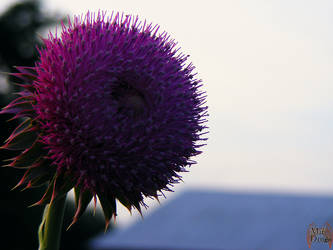 Thistle full bloom by XpiecemealX
