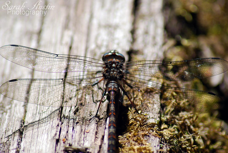Dragonfly. by CapnSarah