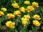 Yellow Fluffy Tulips