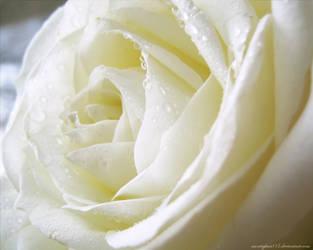 Ivory Rose by morrighan03