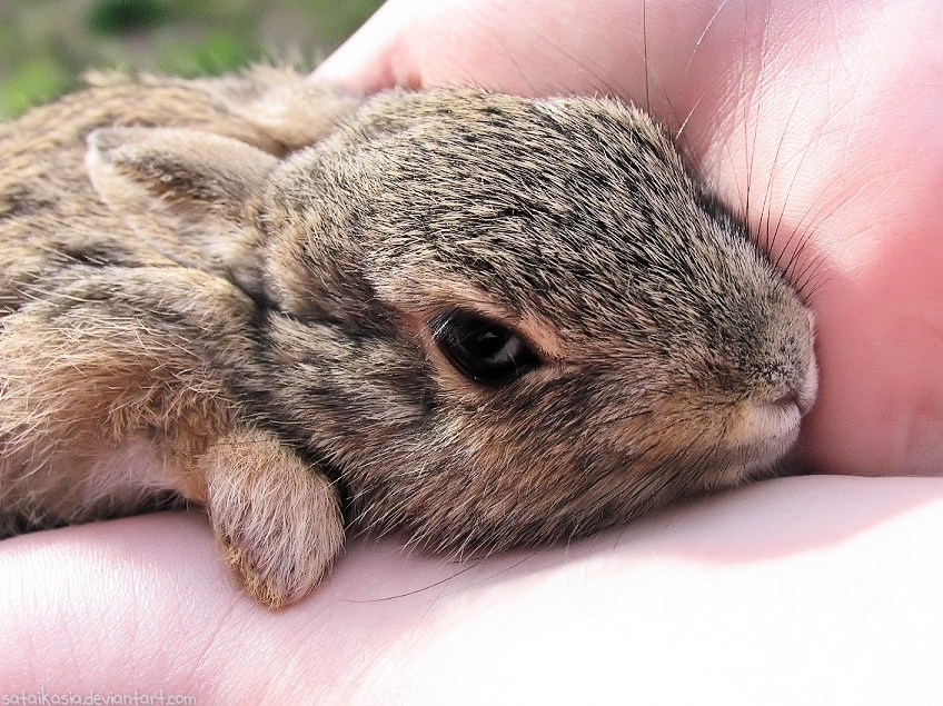 Baby cottontail rabbit - photo#19