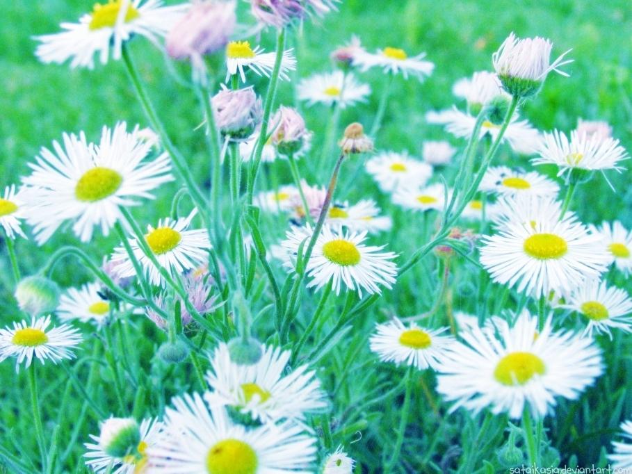 field of daisies by sataikasia