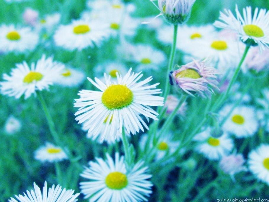 pretty daisies by sataikasia