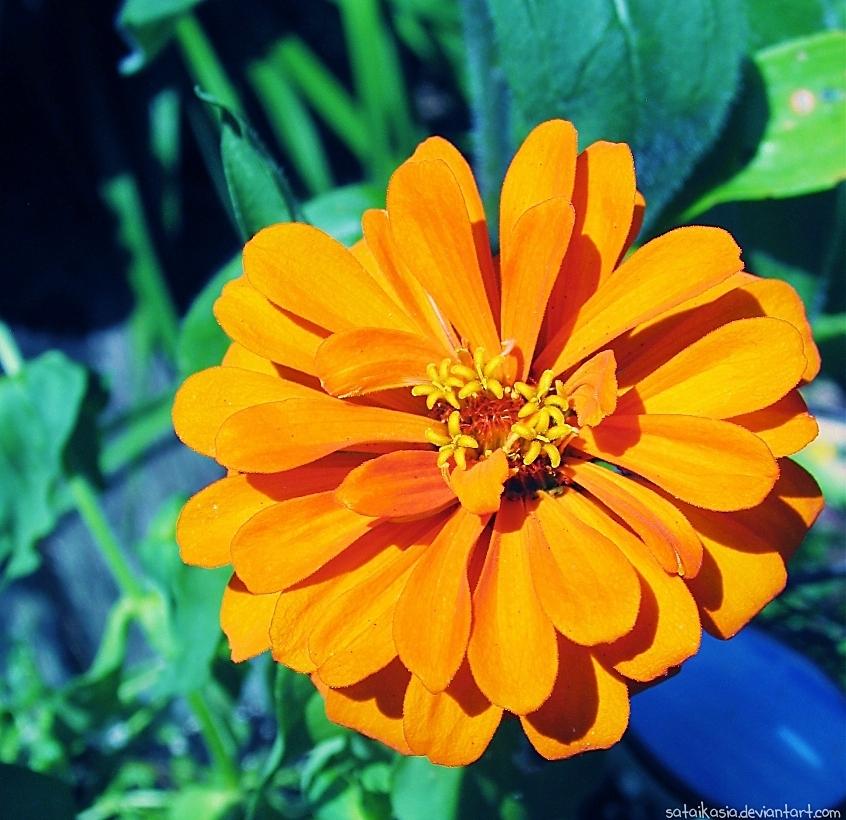 blooming orange by sataikasia