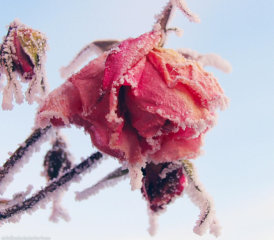 frosty rose by sataikasia